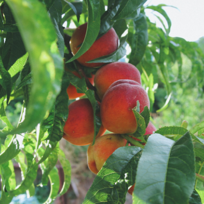 Troy peach fruit tree