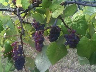 Concord Blue Grapevine