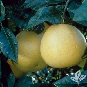 fruit trees White Pummelo Grapefruit