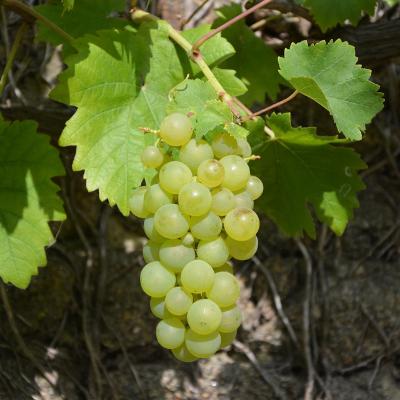 lakemont grape vine fruit