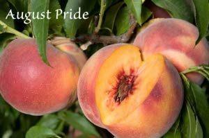 August Pride Peach