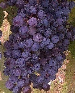 Norton (Cynthiana) Grape Vine