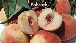 Babcock-peach-fruit trees
