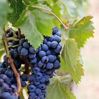 Saturn grape vine fruit