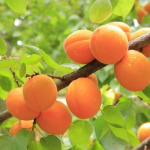 Bryan Apricot fruit trees