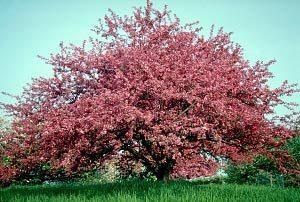 shop nursery plants at bob wells nursery in lindale, TXProfusion Crabapple tree
