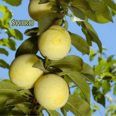 shiro plum tree